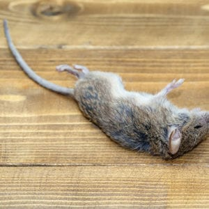 Rodent Removal Tips from the Pros